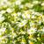 százszorszép · kamilla · virágok · tenger · kövek · izolált - stock fotó © pakhnyushchyy