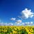 tournesol · domaine · nuageux · ciel · bleu · fleur · ferme - photo stock © Pakhnyushchyy