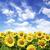 ヒマワリ · 緑 · 草原 · 青空 · 空 · 草 - ストックフォト © pakhnyushchyy