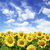 girassol · campo · nublado · blue · sky · flor · fazenda - foto stock © pakhnyushchyy
