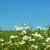 alan · çayır · bahar · beyaz · papatyalar - stok fotoğraf © pakhnyushchyy