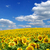 napraforgó · mező · felhős · kék · ég · virág · farm - stock fotó © Pakhnyushchyy