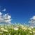 области · луговой · весны · белый · Ромашки - Сток-фото © pakhnyushchyy