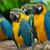 żółty · niebieski · drzewo · ptaków · tropikalnych · zwierząt - zdjęcia stock © pakhnyushchyy