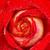 красную · розу · дождь · капли · изолированный · белый · цветок - Сток-фото © pakhnyushchyy