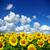 girassol · campo · blue · sky · céu · flores · sol - foto stock © pakhnyushchyy