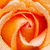 laranja · mutante · rosa · água · primavera · amor - foto stock © pakhnyushchyy