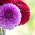 roze · dahlia · natuur · licht · tuin - stockfoto © pakhnyushchyy