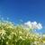 çiçekler · bulutlu · gökyüzü · çiçek · bahar · papatya - stok fotoğraf © pakhnyushchyy