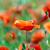rouge · pavot · domaine · blé · nature · fond - photo stock © pakhnyushchyy