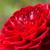 witte · kleur · dahlia · bloem · daisy · plant - stockfoto © pakhnyushchyy