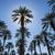 date palms stock photo © pancaketom
