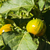 amarillo · tomates · adjunto · corto · vid - foto stock © pancaketom