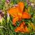 oranje · lelie · mooie · macro · foto · voorjaar - stockfoto © pancaketom