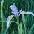 Iris · цветок · зеленый · природы · падение · Blossom - Сток-фото © pancaketom