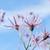 flor · crisantemo · cielo · azul · cielo · primavera · naturaleza - foto stock © papa1266