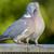 древесины · голубь · дерево - Сток-фото © paulfleet
