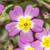 prímula · flores · flor · da · primavera · flor - foto stock © paulfleet