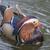 colorful mandarin duck stock photo © paulfleet