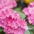 Impatiens flower ball stock photo © paulwongkwan