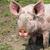pig on a farm stock photo © peredniankina