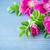 flowers rose hips stock photo © peredniankina
