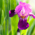 fioritura · Iris · giardino · fiori · casa · primavera - foto d'archivio © peredniankina
