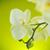 beautiful white phalaenopsis flowers stock photo © peredniankina