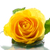 yellow rose stock photo © Peredniankina