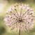 virágok · csoport · óriás · hagyma · virág · szépség - stock fotó © peredniankina