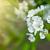 cseresznyevirágzás · napfény · cseresznyevirág · égbolt · tavasz · természet - stock fotó © peredniankina