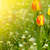 beautiful spring tulip in the sun stock photo © peredniankina