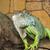 green iguana stock photo © peredniankina