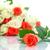 beautiful natural rose stock photo © peredniankina