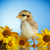 little chick with daisies stock photo © peredniankina