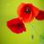 prado · flores · vermelhas · mães · dia · branco · cinza - foto stock © peredniankina