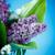 beautiful spring lilac stock photo © peredniankina