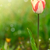 beautiful spring tulip in the sun stock photo © peredniankina