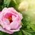 beautiful pink peony stock photo © peredniankina