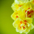 Geel · narcissen · oude · houten · Pasen · bloem - stockfoto © peredniankina