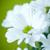 beyaz · krizantem · yalıtılmış · beyaz · arka · plan · çiçek · çiçekler - stok fotoğraf © peredniankina