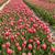 Tulip · области · красочный · цветы - Сток-фото © peter_zijlstra