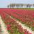 tulipán · ültet · fehér · konyha · törölköző · előkészített - stock fotó © peter_zijlstra