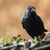 jackdaw corvus monedula stock photo © peter_zijlstra