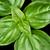 genç · tatlı · fesleğen · yaprakları · üzerinde · makro - stok fotoğraf © peterhermesfurian