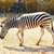 wild zebra stock photo © petrmalyshev