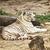 indiai · tigris · víz · természet · macska · ital - stock fotó © petrmalyshev
