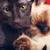 два · кошек · портрет · короткошерстная · тайский - Сток-фото © PetrMalyshev