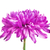 pink chrysanthemum flower stock photo © petrmalyshev