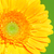yellow gerbera flower stock photo © petrmalyshev